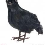 faux corbeau à plumes, accessoire halloween, décoration halloween, faux oiseau à plumes, faux corbeau Corbeau à Plumes