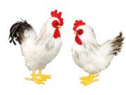 faux coq équipe de france, fausse poule en plumes, faux coq de décoration, coqs de supporter France, coq équipe de france Décoration Coq et Poule en Plumes